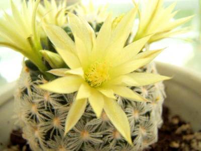 El cactus en casa